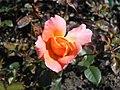 Rosa Rosemary Harkness 2018-07-16 6764.jpg