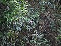 Rosa multiflora Thunb. (5596935331).jpg