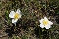 Rosa spinosissima inflorescence (58).jpg