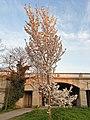 Rosales - Prunus padus - 13.jpg
