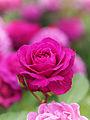 Rose, Old Port, バラ, オールド ポート, (15765251348).jpg