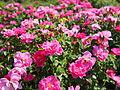 Rose, The Herbalist, バラ, ザ ハーバリスト, (17836911004).jpg