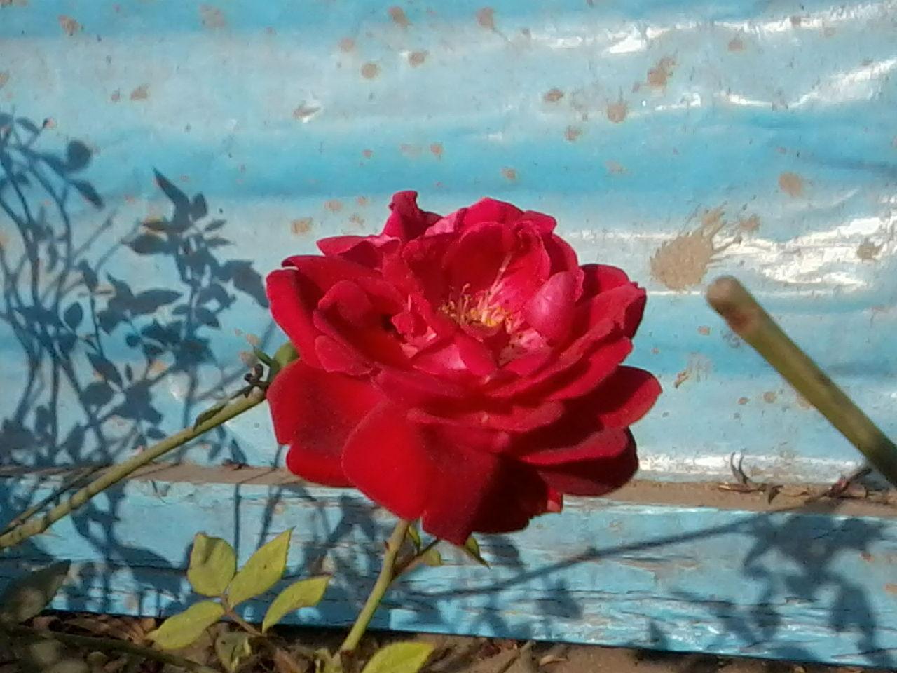 Filerose The Most Beautiful Flower Of The Worldg Wikimedia
