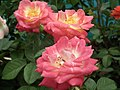 Rose from Lalbagh flower show Aug 2013 8520.JPG