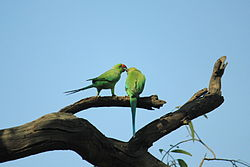 5. Indian rose-ring parakeet