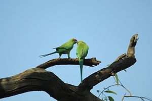 Rose-ringed parakeet - Parakeets in Garaboli National Park making a beak-lock – a common act in parakeet pairs