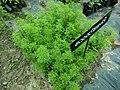 Rosemary plants.jpg