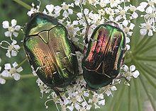 Escaravelhos da espécie Cetonia aurata