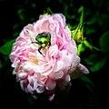 Rosenkäfer in einer Rose.jpg