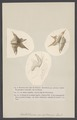 Rostellaria - Print - Iconographia Zoologica - Special Collections University of Amsterdam - UBAINV0274 005 01 0061.tif