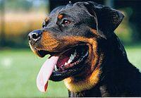 [Image: 200px-Rottweiler_kopf_2.jpg]