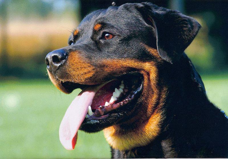 Resim:Rottweiler kopf 2.jpg