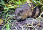 Round-tailed Muskrat Neofiber alleni.png