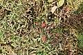 Rubus illecebrosus s5.jpg