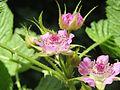 Rubus niveus - Mysore Rasp berry at Mannavan Shola, Anamudi Shola National Park, Kerala (3).jpg