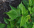 Rubus spectabilis 'Olympic Double' Leaves.JPG