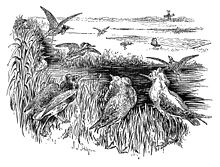 An 1897 black-and-white drawing of a group of Ruffs moving towards an area baited with food. Some are flying towards the food. A net lies on the ground beside the feeding area.