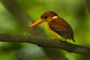 Description de l'image Rufous-backed Kingfisher - Palawan H8O0505.jpg.