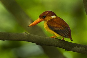 Rufous-backed Kingfisher - Palawan H8O0505.jpg