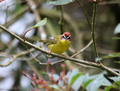 Rufous-capped-warbler.png