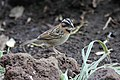 Rufous-collared Sparrow (Zonotrichia capensis) (5771771551).jpg