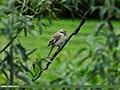 Rufous-tailed Shrike (Lanius isabellinus) (15862433416).jpg