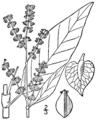 Rumex altissimus BB-1913.png