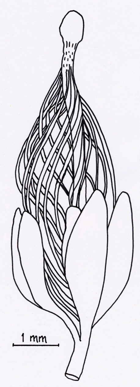 Runcaria megasporangium and cupule drawing