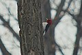 SK-Red-Headed Woodpecker (5610548277).jpg