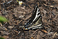 SWALLOWTAILED BUTTERFLY 2.jpg