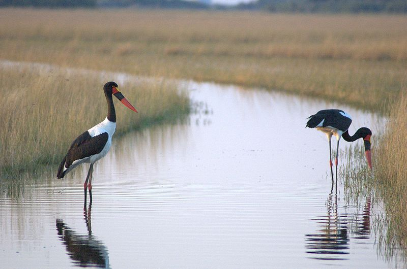 Archivo:Saddle-billed-storks-in-Okawango-delta.jpg