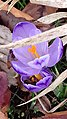 Saffron - Crocus vernus 23.jpg