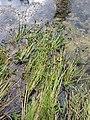 Sagittaria sagittifolia sl4.jpg