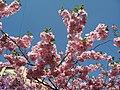 Saint Petersburg. Chinese Garden. Sakura tree2021 04.jpg