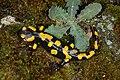 Salamandra salamandra 06 by-dpc.jpg