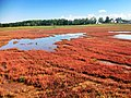 Salicornia europaea-hokkaido-japan.jpg