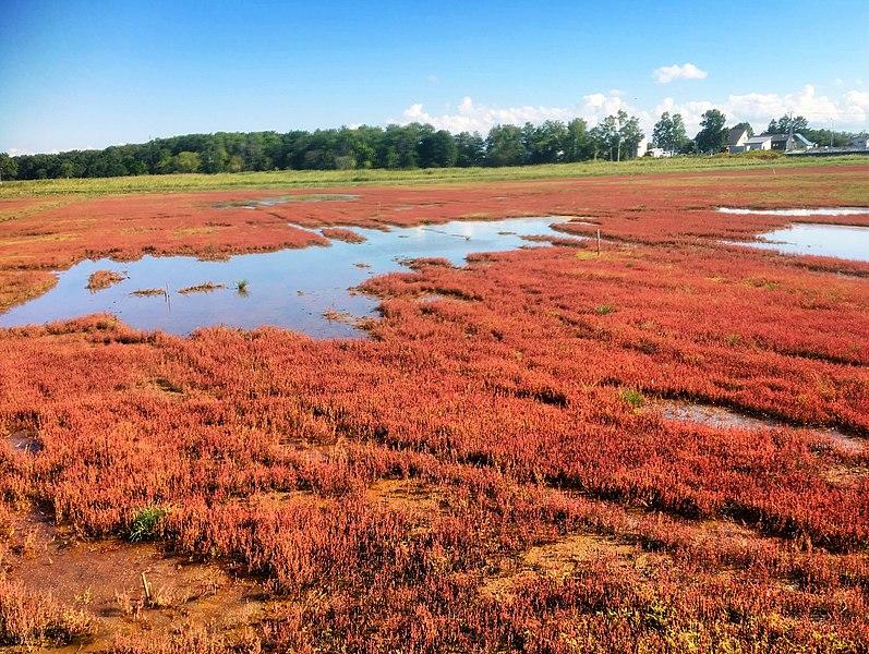 File:Salicornia europaea-hokkaido-japan.jpg
