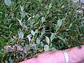 Salix foetida Stink- Weide.JPG
