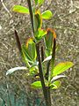 Salix magnifica (26700428585).jpg