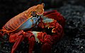 Sally Lightfoot crab (4202519454).jpg