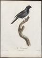 Saltator ater - 1805 - Print - Iconographia Zoologica - Special Collections University of Amsterdam - UBA01 IZ15900395.tif
