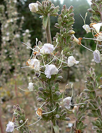 Salvia apiana 3