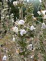 Salvia apiana 3.jpg