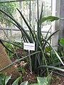 Sansevieria cylindrica - Botanischer Garten der Universität Würzburg.JPG