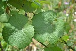Savagnin - leaves.jpg