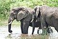 Savannah elephants.jpg