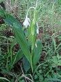 Savannosiphon euryphylla (12365687443).jpg