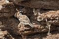Saxaul Sparrow Male (Passer ammodendri) - Загийн боршувуу.jpg