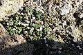 Saxifraga andersonii BotGardMunich 20170225 G.jpg
