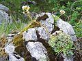 Saxifraga paniculata a4.jpg